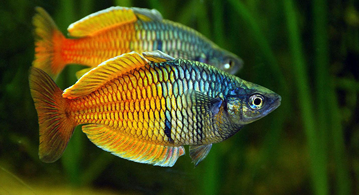 Exotic aquariums the finest quality aquarium livestock for Colorful freshwater aquarium fish