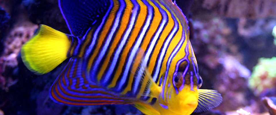 Exotic aquariums the finest quality aquarium livestock for Red saltwater fish