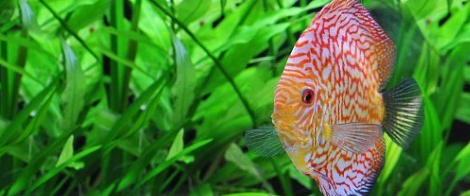 Exotic aquariums the finest quality aquarium livestock for Rare freshwater aquarium fish