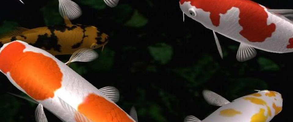 Exotic aquariums the finest quality aquarium livestock for Exotic koi fish